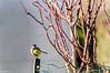 Je surveille... (Crilion43) Tags: réflex france véreaux divers mésange nature paysage jardin centre oiseaux canon objectif tamron 1200d cher bleue brouillard charbonnière herbe passereaux plumes