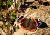 Mariposa de alas rotas... (Leo ☮) Tags: mariposa butterfly alas rota wings broken nature naturaleza color luz diciembre 25 invierno winter galicia