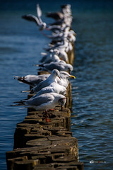 Seaguls (ulschn) Tags: boltenhagen ostsee baltic sea seagul möwe buhne