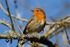 _F0A8846.jpg (Kico Lopez) Tags: erithacusrubecula galicia lugo miño petirrojo spain aves birds rio