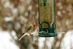 20170211-Birds of Chatham Gardens (ChathamGardens) Tags: capecod chathamgardens housefinch birds chathamma