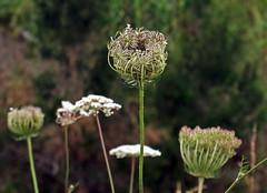 Weeds on Bushwalk, 15. Daucus carota, Queen Anne's Lace, Wild Carrot (AlfredSin) Tags: alfredsin canoneos760d whiteflowers daucuscarota queenanneslace australianflowers australianplants weeds