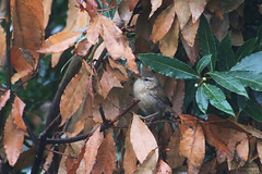 Troglodyte mignon (Mariie76) Tags: animaux oiseaux passereaux troglodytes troglodyte mignon petit marron rayure blanche feuilles hiver branches arbuste laurier nature