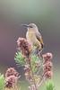 DSC_7446 (mylesm00re) Tags: f africa anthobaphesviolacea gantouwpass hottentotshollandnaturereserve nectariniidae orangebreastedsunbird oranjeborssuikerbekkie southafrica westerncape za bird