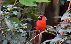 Male Cardianl DSC_4802 (blthornburgh) Tags: thornburgh tampa florida nature outdoors garden cardinal cardinaliscardinalis red redbird bird songbird