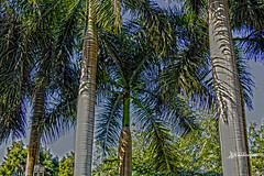 Palm Trees (haidarism (Ahmed Alhaidari)) Tags: palm tree palmtree circle king outdoor bokeh plan sonya65 depthoffield egypt aexandria montaza nature ngc tourist tourism travel travelling