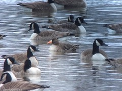 20170124 Greater White-fronted Goose (plumheadedfinch) Tags: birds ducksgeeseandswans gwfg cang pennsylvania month01january 2017