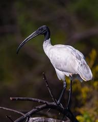 Stare (Emu Alim) Tags: nikond5 afsnikkor800mmf56efled afsteleconvertertc800125e gitzo wh200wimberleyheadversioni afsnikkor800mmf56efledvr afsteleconvertertc800125eed wh200wimberleyheadversionii black headed ibis