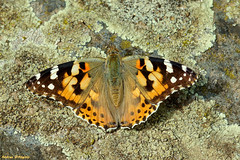 Painted Lady (Darea62) Tags: paintedlady butterfly insect animal nature vanessa cardo cardui cynthia summer wildlife garden country wings stone moss rock