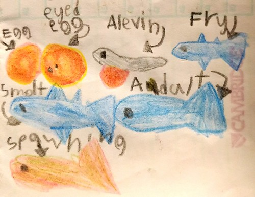 Illustrated life cycle of a coho salmon, by Catrin