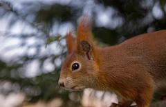 Get my best side (SarahW66) Tags: red redsquirrel britishnature britishwildlifecentre canon1755mm bokeh
