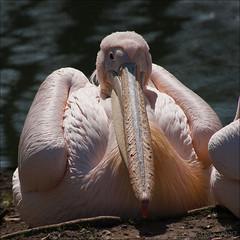 no more grooming... ever! - HFF! (lunaryuna) Tags: bird animal flamingo pink prettyinpink funny closeup freshfromthebeautyparlour nature beauty hommagetoplumage lunaryuna