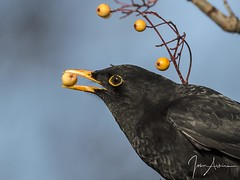 Blackbird with berry portrait. 20/01/17 (johnatkins2008) Tags: blackbird gardenbirds woodlandbirds wildlifephotography birdphotography johnatkins2008 portraits