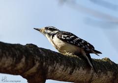 Hairy Woodpecker. (Estrada77) Tags: hairy woodpecker nikon 200500mm winter 2017 birds birding outdoors march wildlife