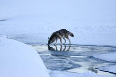 Gray Wolf Fishing (rockstardiplomat) Tags: grandtetonnationalpark oxbowbend wolf wolffishing