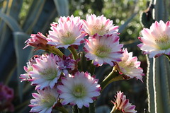 Cereus flowers (Runabout63) Tags: cereus flower cactus cacti