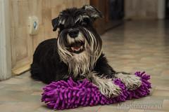 Happy dog with new toy (ideal_farm) Tags: happy dog toy home zwergschnauzer schnauzer miniature violet new sony pet animal