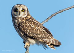 Short - eared Owl (Peter Bangayan) Tags: wildlife wildlifephotography birds birdsofprey nature shortearedowl raptors stanwoodwa washington