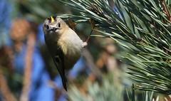 Goldcrest 280217 (3) (Explored) (Richard Collier - Wildlife and Travel Photography) Tags: wildlife naturalhistory birds british britishbirds goldcrest rspb rspbreserve rspbarne dorset dorsetwildlife naturethroughthelens