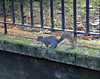 Squirrel (Américo Aperta) Tags: dscf0092 américoaperta london londres capital city cidade unitedkingdom reinounido uk greatbritain grãbretanha gb park parque hydepark squirrel esquilo animal