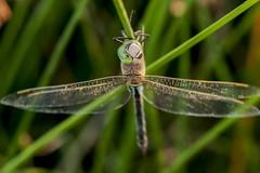 See me ! (jrosvic) Tags: dragonflies dragonfly odonata odonato anaxparthenope libélula libellulidae entomology entomologia nikon105mmf28vrmicro nikond90