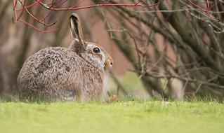 Brown Hare - garden visitor -