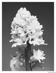Plumage (Amar Sood) Tags: amarsoodphotocom amarsoodphotography nikon nikkor 5018 blackandwhite whiteandblack mono monochrome fineart nature plant flowers vscofilm vsco fujineopan1600