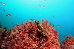 Lanzarote-201702-Dive1-PlayaChicaSurrounds-8-Nudibranch-FelimarePictaWebii-OnSand-WA (Tony J Gilbert) Tags: wwwsafaridivingcom safaridiving lanzarote latinosa underwater underwaterphotography diving marine canaryislands nikond300 islascanarias canaries playachica wrecks shipwrecks nikon marinefish espaniola volcanoes lava volcanic scubadiving reefs oldharbourwrecks puertodelcarmen puntatinosa barcoshundidos loserizos macro wideangle