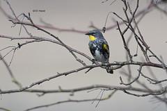 Yellow-rumped Warbler (featherweight2009) Tags: yellowrumpedwarbler dendroicacoronata warblers songbirds birds