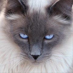 Look Into My Eyes (Domain Barnyard) Tags: cat eyes feline may kitty siamese 2006 whiskers attitude gato stare tingey domainbarnyard kittiesrule 123cats