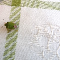 Camouflage? (rosberond) Tags: white green topv111 bug tablecloth greenshieldbug lovephotography beautifulbug exploredbutnotnow