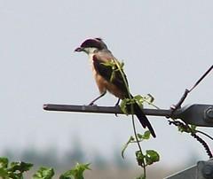 A Missing Friend (CharlesLam) Tags: bird geotagged hongkong birding laniusschach longtailedshrike geolat22488332 geolon114099669 kclama