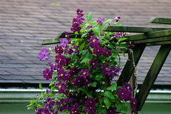 Purple Flowers On Vines II (mightyquinninwky) Tags: flowers leaves kentucky lovely1 vine lexingtonky commonwealth chevychase purpleandgreen fontaineroad centralkentucky