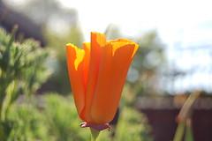 Californian Poppy (Facing North East) Tags: orange plants june garden spring 2006 californianpoppy