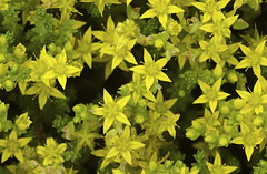 Seeing Stars (Kari Melissa) Tags: flowers stars seeing foilage groundcover