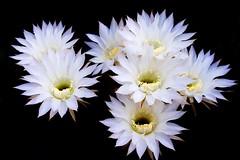 Flor de cactus (pericoterrades) Tags: flowers cactus flores bravo 2006 verano pericoterrades imagepoetry 50clubxcalidad excellentsflowers