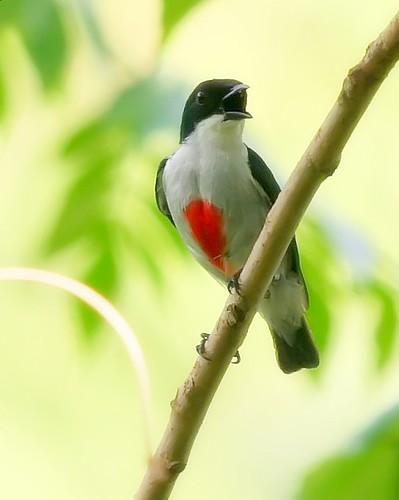 Red-Keeled Flower Pecker