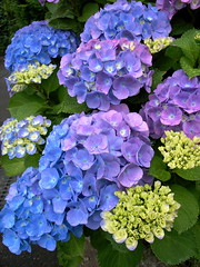 Hydrangea (shinichiro*) Tags: flower color macro love japan 2006 hydrangea grdigital crazyshin aroundhome 0611 0613 grd exp243