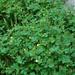 Chelidonium majus, Lesser Celandine, Habit