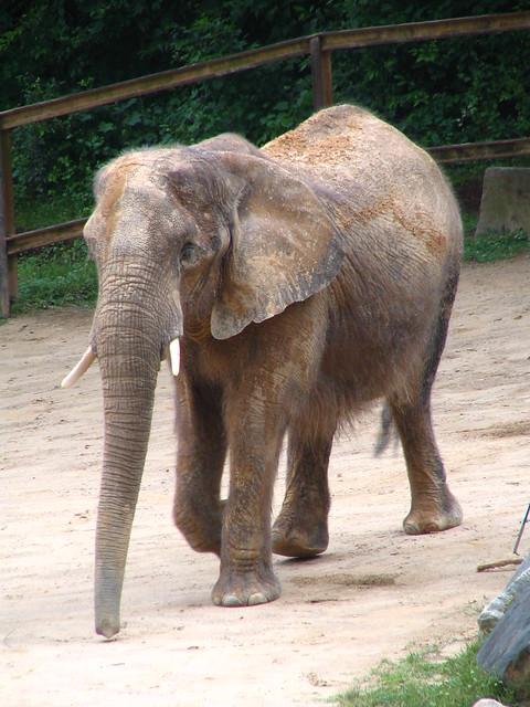 Baltimore Zoo Elephant