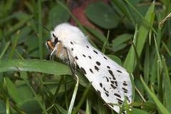 "White Ermine (spilosoma lubricipeda) (1) • <a style=""font-size:0.8em;"" href=""http://www.flickr.com/photos/57024565@N00/170338307/"" target=""_blank"">View on Flickr</a>"