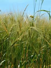 grasses (ellengwallace) Tags: summer switzerland