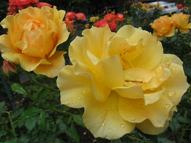 a wet yellow rose