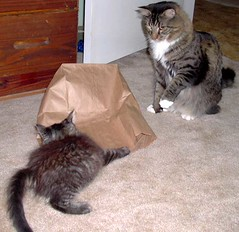 Beau, Beemer and a Bag (Kendra88USA) Tags: friends rescue cats silly cat furry kitten funny fuzzy kitty kittens kitties furryfriday beau beemer