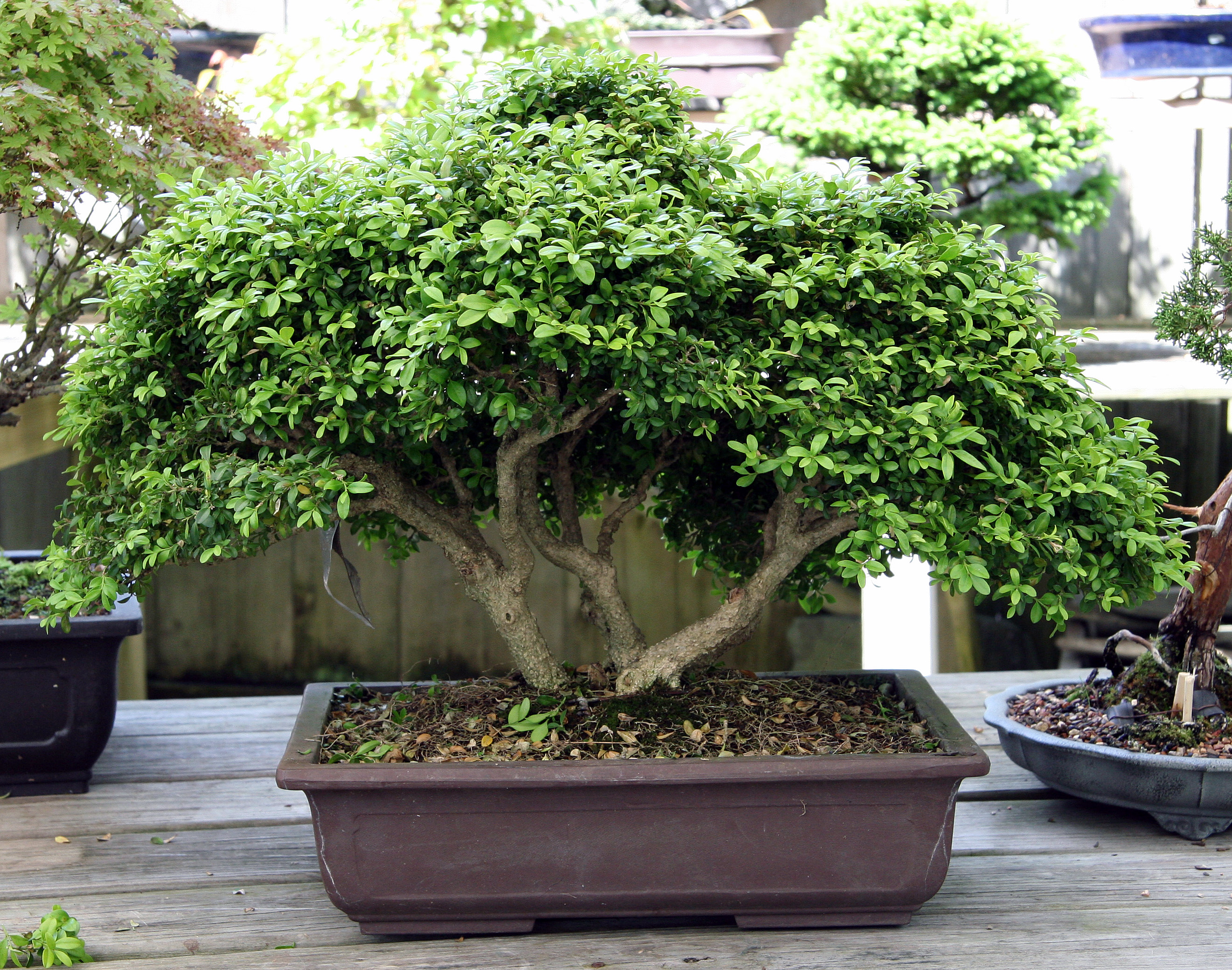 Amalgamation Bonsai