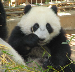 Closeup of little Su Lin today at the Giant Panda Research Station (kjdrill) Tags: china california bear baby cute station giant zoo cub paw infant panda whisper sandiego little bears chinese bamboo boo research giggle cuteness brighteyes pandas endangeredspecies sdzoo sulin