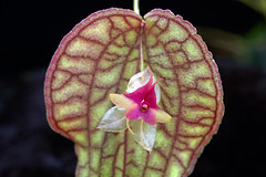 Lepanthes saltatrix (Eric Hunt.) Tags: orchid flower d70 orchidaceae variegated lepanthes tesselated lepanthessaltatrix