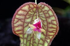 Lepanthes saltatrix (Eric Hunt.) Tags: orchid flower d70 orchidaceae variegated lepanthes tesselated lepanthessaltatrix