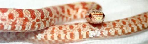 Albino Prairie King Snake