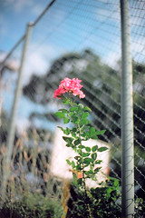 #01 outside of the wire net (moaan) Tags: life flower film 50mm solitude dof bokeh 2006 f10 noctilux zeissikon dailylife uptothesky inlife gettyimagesjapanq1 gettyimagesjapanq2